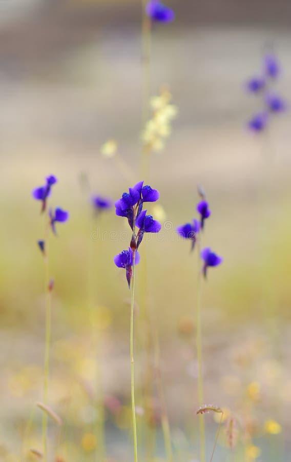 Lentibulariaceae da flor selvagem, Utricularia Delphinioides imagens de stock royalty free