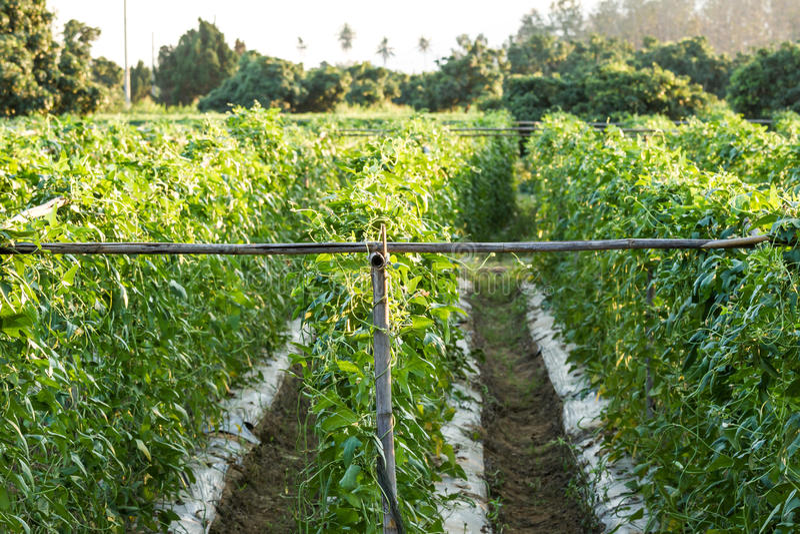 Lentil farmland. Northern of Thailand royalty free stock photo