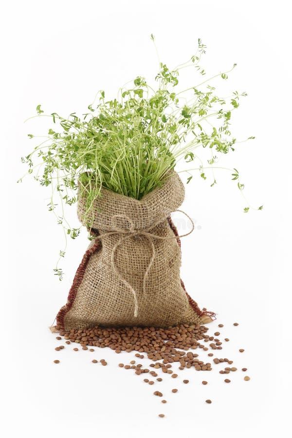 Lentil plant. In a burlap sack stock images