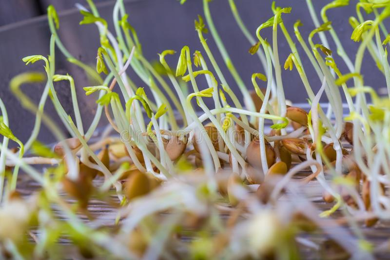 Lentil sprouts growing royalty free stock photography