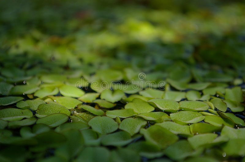 Lentilha-d'água na água imagens de stock