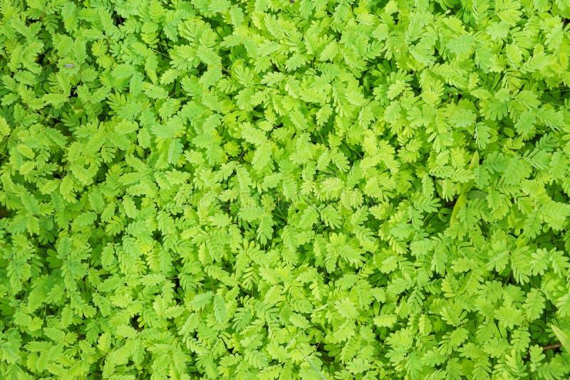 A lentilha-d'água que floresce plantas flutua nos tanques de água imagem de stock royalty free