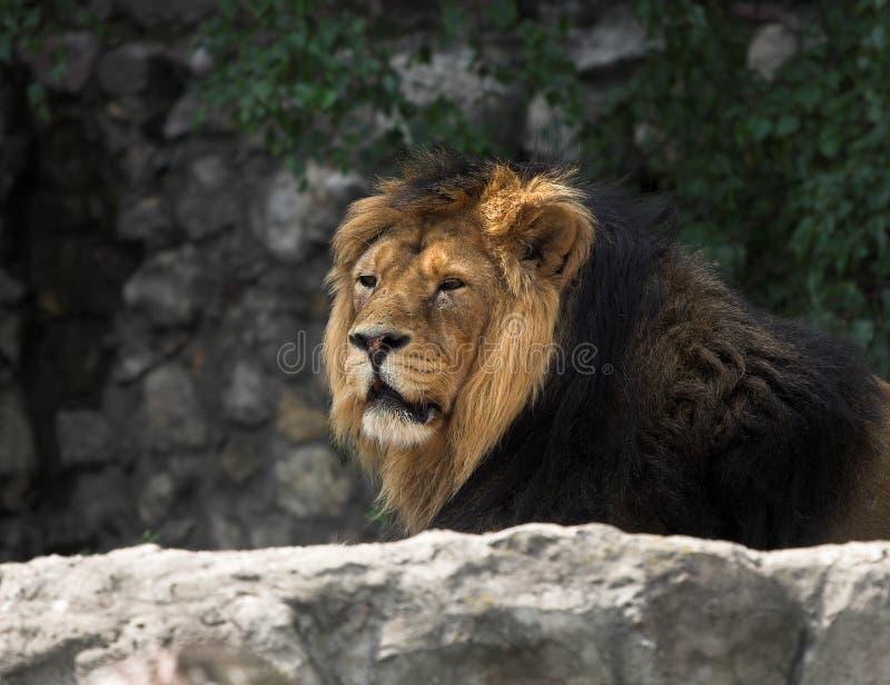 Leo imagens de stock royalty free