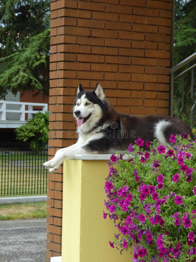 This is Leo. An amazing alpha Husky having a relax moment in his favourite place royalty free stock images