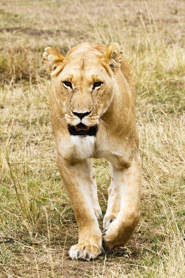 Leo die van leeuwinpanthera Masai Mara, Kenia, Afrika lopen stock foto