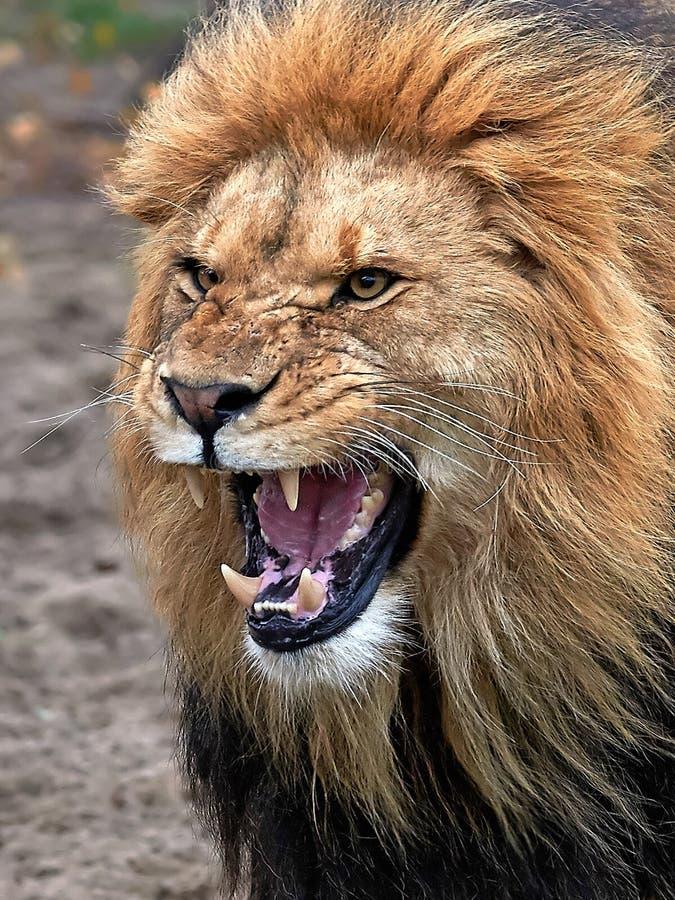 leo lionpanthera arkivfoton