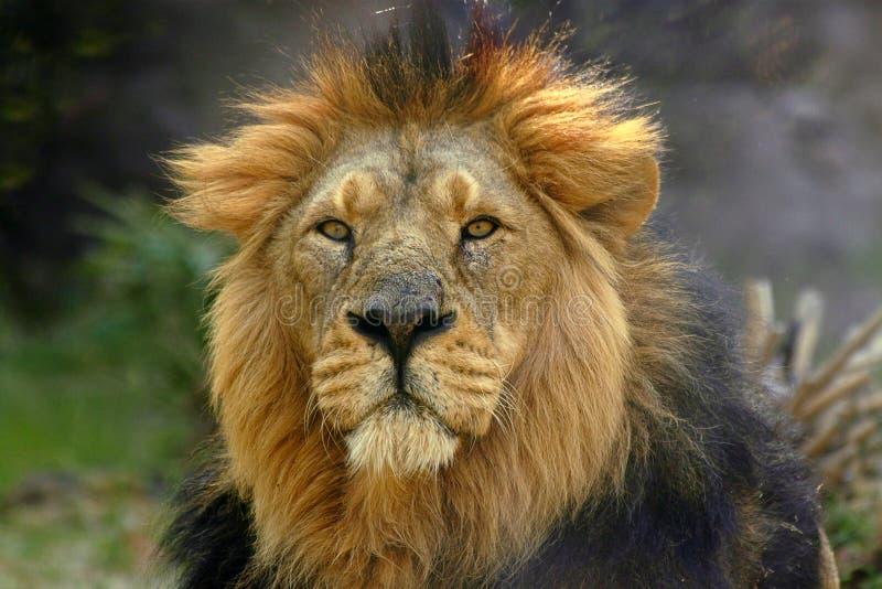 Leo Lwa Męski Panthera Portret Zdjęcie Royalty Free
