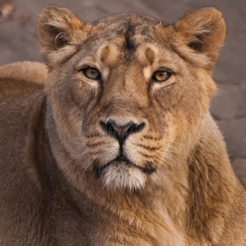 A leoa é uma forte e o animal bonito, demonstra emoções fotos de stock royalty free