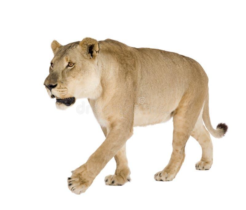 Leoa (8 anos) - Panthera leo fotografia de stock royalty free