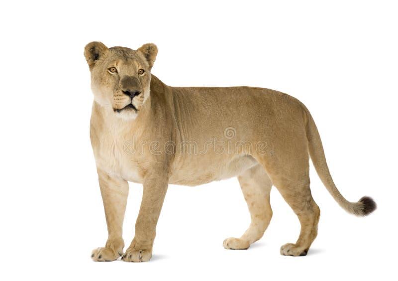 Leoa (8 anos) - Panthera leo imagem de stock