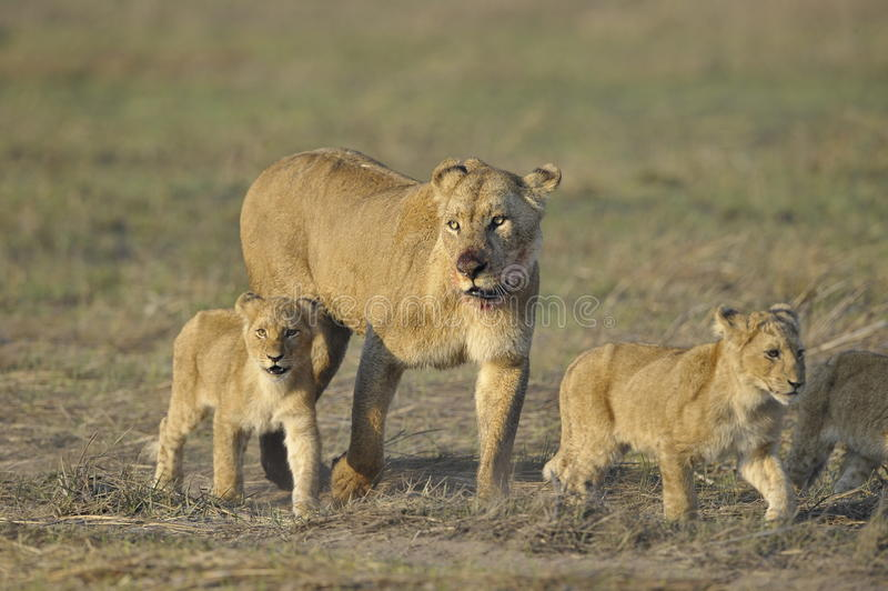 Leoa após a caça com filhotes. fotos de stock royalty free