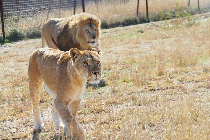Leoa bonita e leão borrado no parque do safari foto de stock royalty free