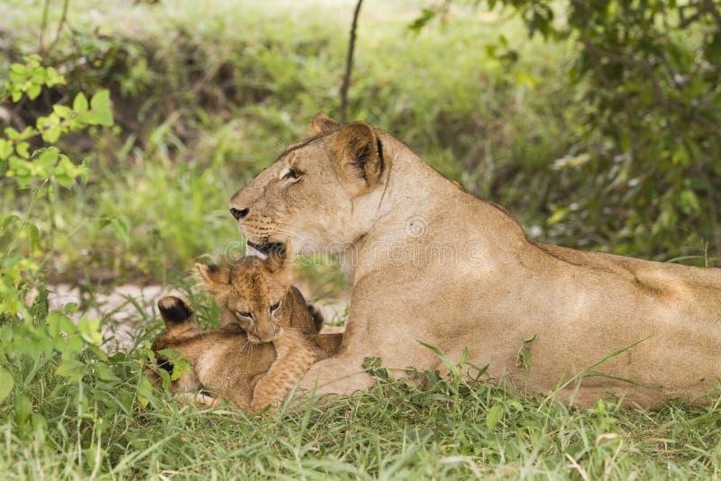 Leoa com filhotes (Panthera leo) fotografia de stock