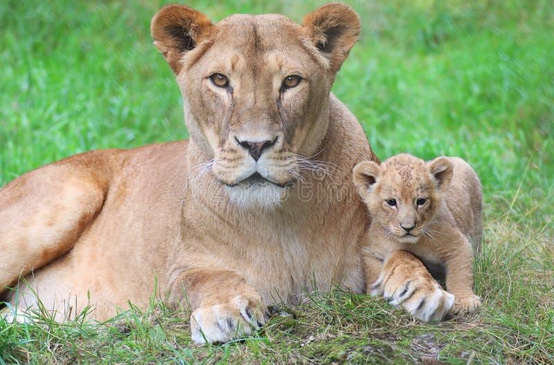 Leoa e seu filhote fotografia de stock royalty free