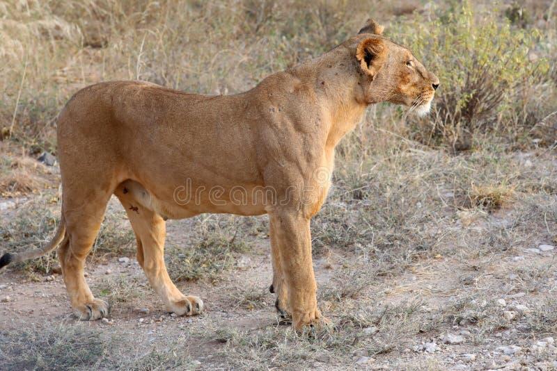 Leoa em kenya perto do veículo do safari 4x4 fotografia de stock