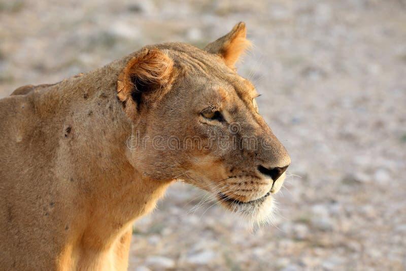 Leoa em kenya perto do veículo do safari 4x4 imagens de stock