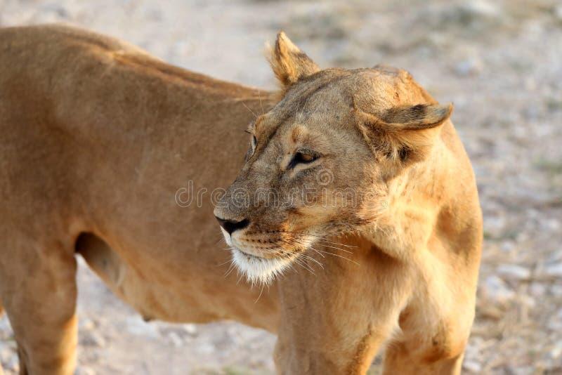 Leoa em kenya perto do veículo do safari 4x4 foto de stock royalty free