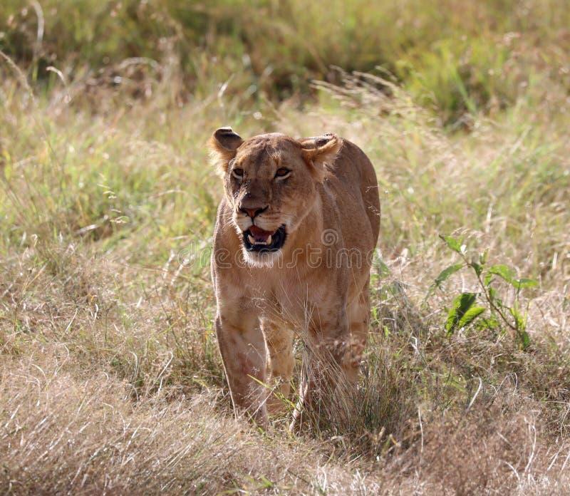 Leoa em kenya perto do veículo do safari 4x4 imagem de stock