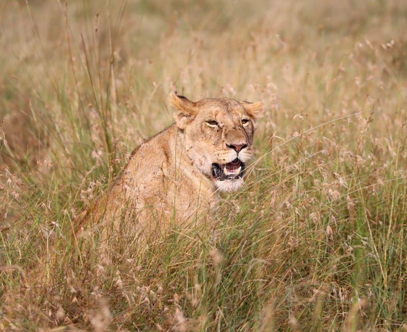 Leoa em kenya perto do veículo do safari 4x4 fotografia de stock royalty free