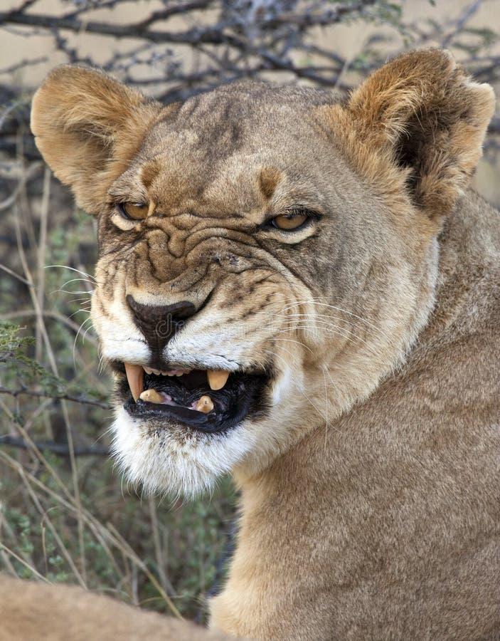 Leoa em Savuti em Botswana foto de stock royalty free