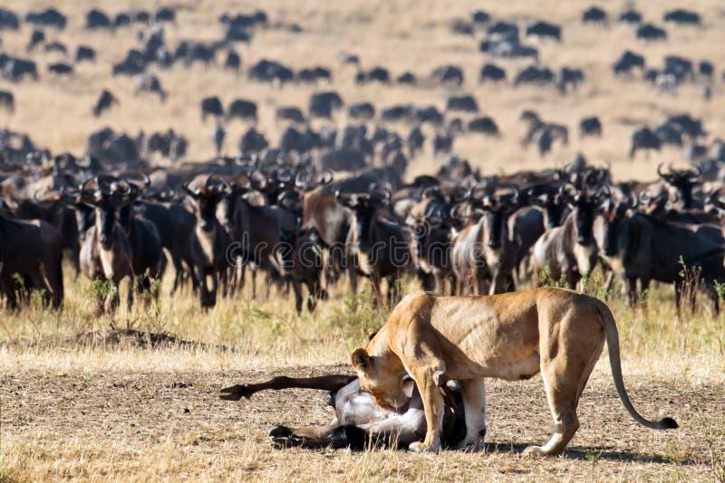 A leoa inclina-se para o wildebeest da carcaça fotos de stock royalty free