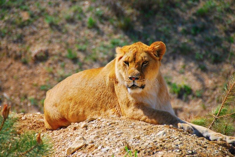 Leoa, natureza, animal, parque, safari, Taigan, areias, predador, animal predatório foto de stock