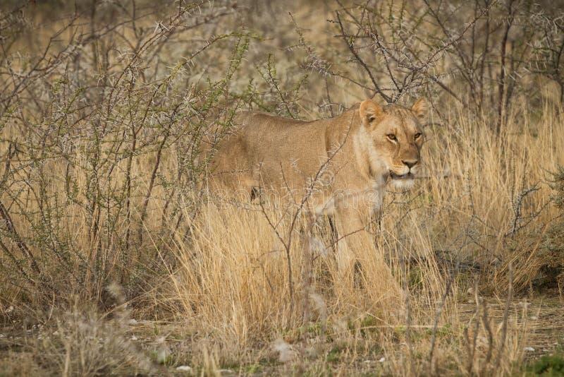 Leoa que anda entre arbustos do savana africano nafta imagem de stock