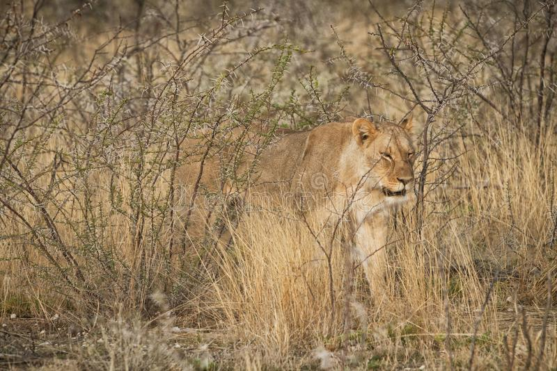 Leoa que anda entre arbustos do savana africano nafta fotos de stock royalty free