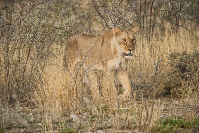 Leoa que anda entre arbustos do savana africano nafta imagens de stock royalty free