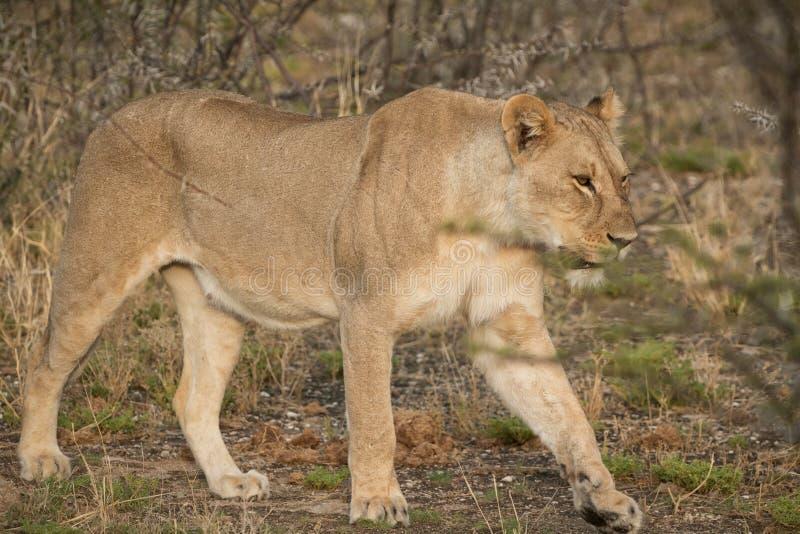 Leoa que anda entre arbustos do savana africano nafta fotografia de stock