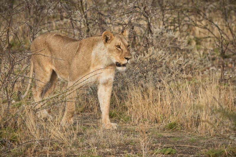 Leoa que anda entre arbustos do savana africano nafta fotos de stock