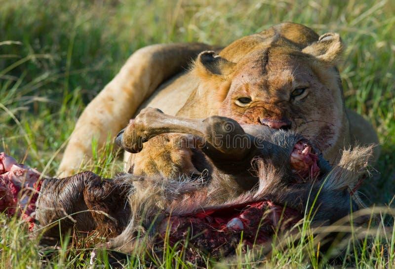 Leoa que come o parque nacional matado do gnu kenya tanzânia Masai Mara serengeti fotos de stock