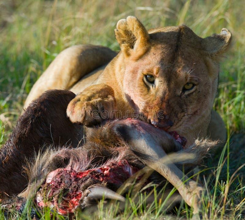 Leoa que come o parque nacional matado do gnu kenya tanzânia Masai Mara serengeti fotografia de stock