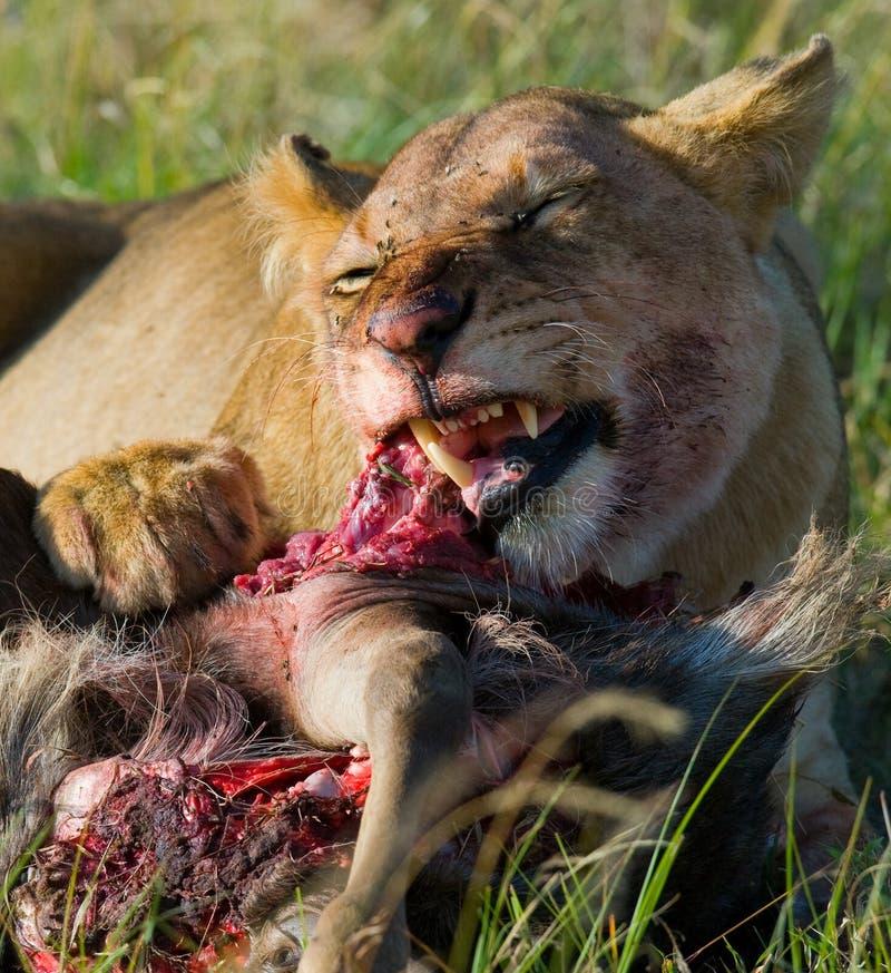 Leoa que come o parque nacional matado do gnu kenya tanzânia Masai Mara serengeti imagem de stock royalty free