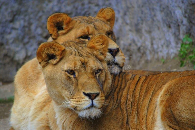 Leoas dos predadores de Gloria & de Wanda Savannah imagem de stock royalty free