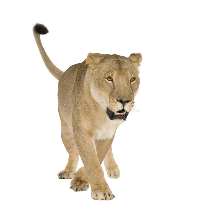 Leona (8 años) - Panthera leo fotos de archivo libres de regalías