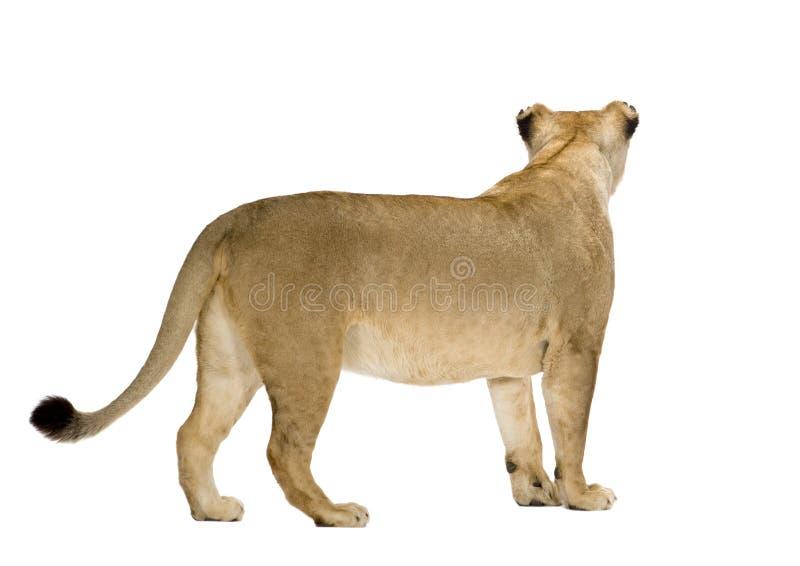 Leona (8 años) - Panthera leo fotos de archivo