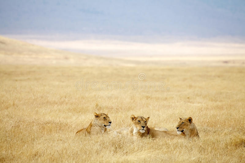 Leona africana (Panthera leo) imagenes de archivo