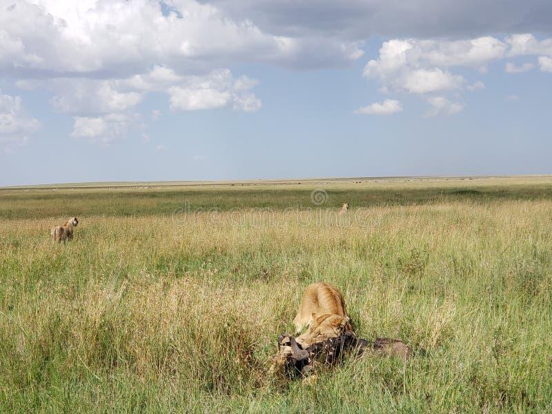 Leona con el ñu recientemente matado en el parque nacional de Serengeti, Tanzania fotografía de archivo libre de regalías