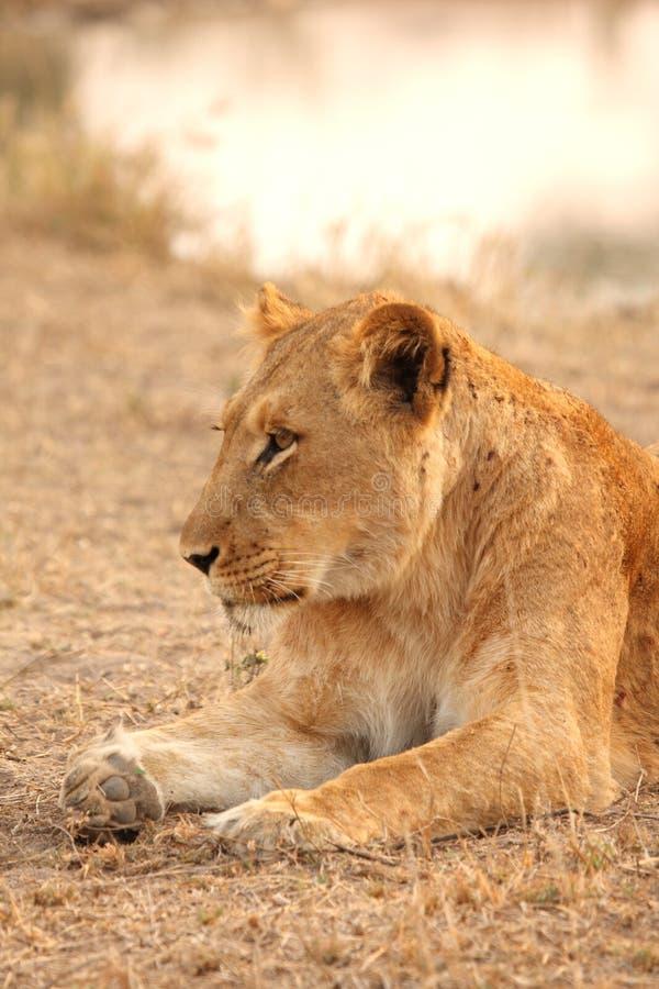 Leona en las arenas de Sabi imágenes de archivo libres de regalías