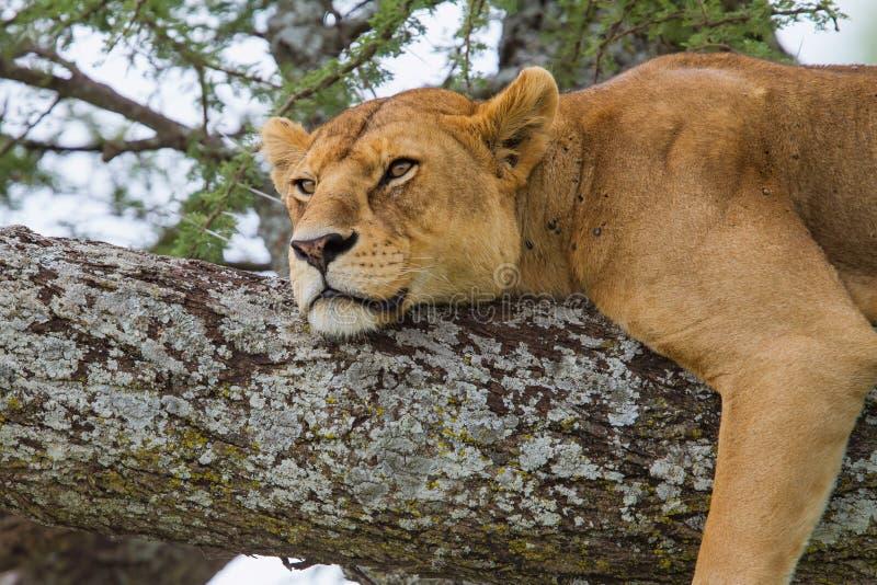 Leona en un árbol en Serengeti fotografía de archivo