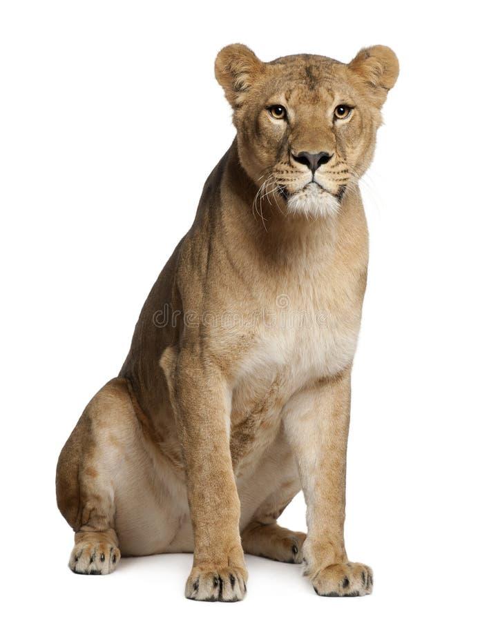 Leona, Panthera leo, 3 años, sentándose foto de archivo