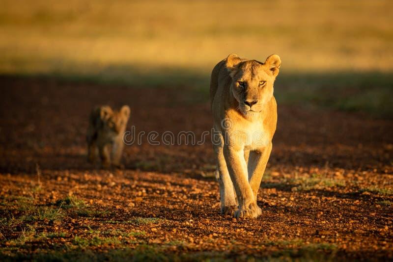 Leona que camina con el cachorro a lo largo de la pista de aterrizaje de la grava fotografía de archivo