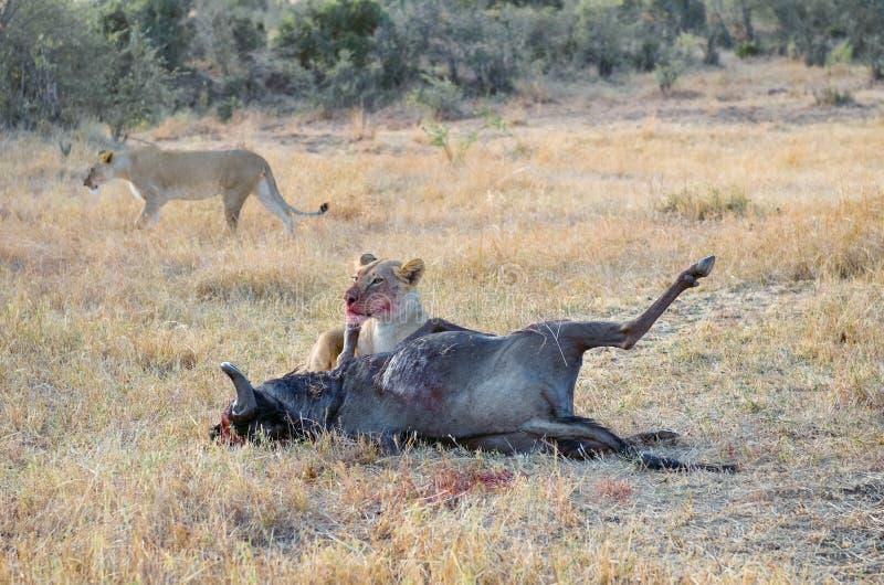 Leona que come el ñu matado después de la caza en sabana, safari en Kenia fotos de archivo libres de regalías