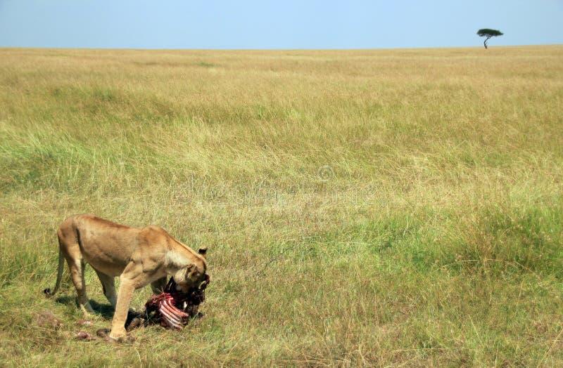 Leona que come un Wildebeest fotografía de archivo libre de regalías