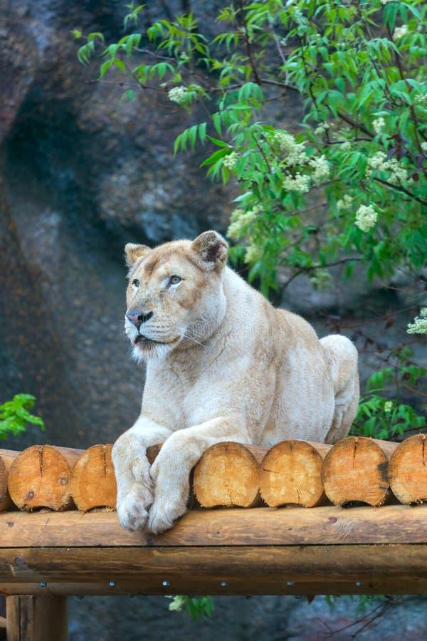 Leona que descansa en parque zoológico imagen de archivo