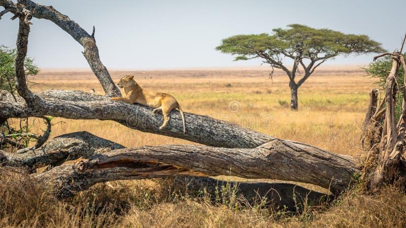 Leona que descansa sobre un árbol, en el parque nacional de Serengeti, Tanzania imagen de archivo