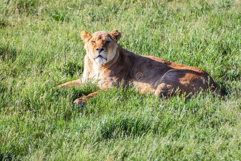 Leona que miente en la hierba y las miradas en la cámara imagen de archivo libre de regalías