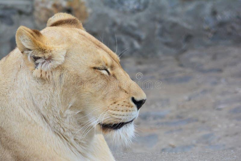 Leona soñolienta que toma una siesta después de una caza dura imagenes de archivo