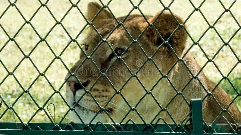 Leona triste que mira más allá de la cerca fotografía de archivo libre de regalías